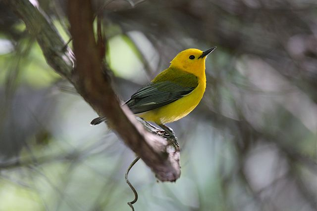 prothonotary warbler (photo by Dominic Sherony)